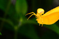 Yellow flower spider waiting for prey on Stock Photography