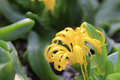 Yellow flower of succulent plant Royalty Free Stock Photo
