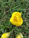 Yellow flower tulip top view of a Royalty Free Stock Images