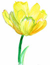 Yellow flower tulip watercolor illustration Royalty Free Stock Image
