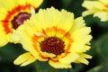 Yellow flower variant of Chrysanthemum carinatum