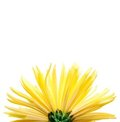 The yellow flower on a white background, Royalty Free Stock Photo