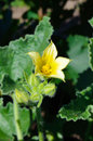 Yellow flower of wild cucumber Stock Photo