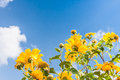 Yellow flowers against blue cloudy sky Royalty Free Stock Photo