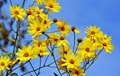 Yellow flowers against the blue sky Royalty Free Stock Photo