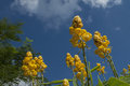 Yellow flowers against blue sky clear nature clean stock photo Royalty Free Stock Photos