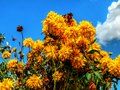 Yellow flowers against the cloudy sky background Royalty Free Stock Photo
