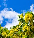 Yellow flowers against the dark blue sky Stock Photo