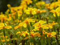 Yellow flowers background bright on a blurred of other colors in sunny day Royalty Free Stock Photos