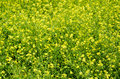 Yellow flowers background of in the meadow Stock Image