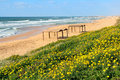 Yellow flowers and the beach on mediterranean sea sandy along in ashqelon israel Royalty Free Stock Photography