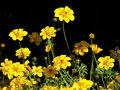 Yellow flowers on black background Stock Photography