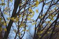 Yellow blooming flowers and red leaf buds on a King Crimson Maple Tree in the spring Royalty Free Stock Photo