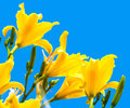 Yellow flowers on a blue background Royalty Free Stock Photography