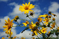 Yellow Flowers, Blue Cloudy Sky Royalty Free Stock Photo