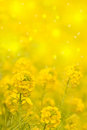 Yellow flowers on a bokeh background common winter cress or rocket barbarea vulgaris blurred Royalty Free Stock Photos