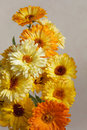 Yellow flowers calendula Royalty Free Stock Photo