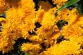 Yellow flowers closeup. Sunny garden detail photo. Summer floral abstract background. Yellow orange daisy Royalty Free Stock Photo