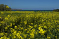 Yellow flowers Crete Royalty Free Stock Images