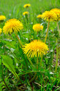 Yellow flowers dandelions among green grass on a lawn Royalty Free Stock Photo