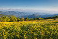Yellow flowers field appalachian trail nc landscape of rare new england groundsel daisy like filling the meadow on the blue ridge Royalty Free Stock Photos
