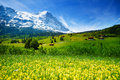 Yellow flowers field beautiful swiss landscape blooming of with alps mountains covered with snow in summer Stock Photo