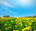 Yellow flowers field under blue cloudy sky this is Royalty Free Stock Images