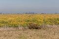 Yellow flowers field uruguay a in near colonia del sacramento Stock Image