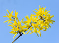 Yellow flowers (Forsythia) Royalty Free Stock Photos