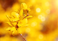 Yellow flowers forsythia bush blossom in garden in springtime over bokeh Royalty Free Stock Image