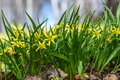 Yellow flowers gagea spring grass