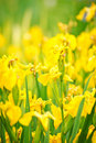 Yellow flowers in garden Stock Photography