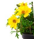Yellow flowers goldmarie or bidens ferulifolia or bidens goldilocks in a pot on white background Stock Photo