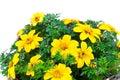 Yellow flowers goldmarie or bidens ferulifolia or bidens goldilocks in a pot on white background Stock Images