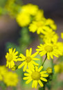Yellow flowers on green field. Royalty Free Stock Photo