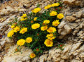 Yellow flowers grow in rocks, Spain Royalty Free Stock Photo