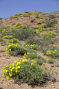 Yellow flowers on the hill Royalty Free Stock Image