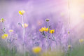 Yellow flowers illuminated by sun rays in meadow lit sunbeams Stock Photography