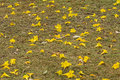 Yellow flowers on the lawn Royalty Free Stock Photo