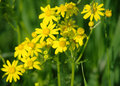 Yellow flowers on the meadow green Royalty Free Stock Images