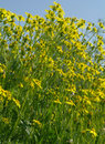 Yellow flowers on the meadow green Stock Photo