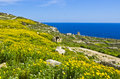 Yellow flowers meadows and during spring countryside on the island of malta Stock Photography