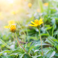 Yellow flowers with morning sunlight in spring time Royalty Free Stock Photo