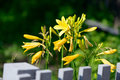 Yellow flowers near wooden fence Royalty Free Stock Photo