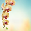 Yellow flowers orchids isolated on white Royalty Free Stock Photo