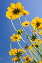 Yellow flowers over vivid blue sky Royalty Free Stock Photography