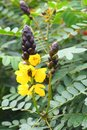 Yellow Flowers of Popcorn Cassia - Senna Didymobotrya - A Common Plant in Kerala, India