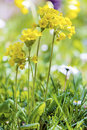 Yellow flowers primula veris false oxlip primula x polyantha a blooming surrounded by many cowslip vera on a meadow in spring Stock Photo