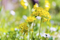 Yellow flowers primula veris false oxlip primula x polyantha a blooming surrounded by many cowslip vera on a meadow in spring Stock Photography