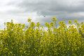 Yellow flowers of rape, the bird flies in the sky with clouds Royalty Free Stock Photo